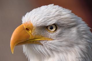 Portrait Weißkopfseeadler