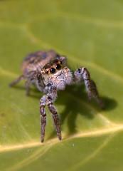 Kikou ! (Fabisa00) Tags: spider jumping araigne saltique