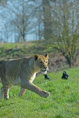 Hot-footing (Wildlife Online) Tags: animal cat mammal feline lion bedfordshire bigcat lioness carnivore woburnsafaripark woburn africanlion femalelion pantheraleo africanwildlife zoophotography captivelion marcbaldwin wildlifeonline