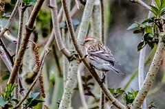 Redpoll (phat5toe) Tags: nature birds nikon wildlife feathers avian wigan redpoll flashes greenheart lancashirewildlifetrust d7000 sigma150500