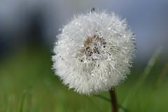 Pustblume (thomas druyen) Tags: jaune outdoor pflanze dandelion blume makro schrfentiefe pissenlit  lvetann dientedelen pusteblume paardebloem ite dentedileone dentedeleo  maslaak pelzig  mniszeklekarski