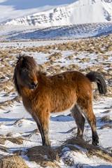cheveaux (8) (OliPhil_997) Tags: horses iceland islande cheveaux