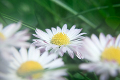 Daisies (The MM omniscient) Tags: flowers summer plants white plant flower macro green nature beautiful grass closeup daisies spring warm day moody bokeh meadow daisy slovakia