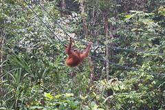 A swinging Orangutan (quinet) Tags: sarawak malaysia borneo orangutan kuching orangutang pongopygmaeus 2015 semenggohnaturereserve