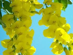 103_1288 (maszat15) Tags: flower color yellow virg aranyes laburnumwatereri srgaakc