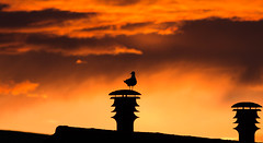 Watching the Sunset (Ed Swift) Tags: sunset chimney bird silhouette fauna clouds canon wildlife goldenhour bonnybridge 300mmf4lis 70d 300mmf4isl