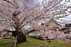 Kyoto,Japan (Vincent_Ting) Tags: sky japan cherry landscape temple spring kyoto sunny bluesky cherryblossoms kansai cherrytree    japantemple   touristdestination       vincentting