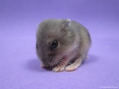 Hamster Baby (AnimalPetFans) Tags: winter pet baby white animals dwarf hamster beb siberian russian filhote ano russo chins criceto phodopus sungorus