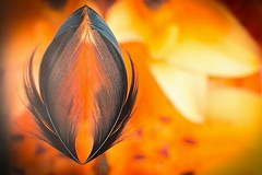 Rise to the Occasion (Esther5h (Catching up)) Tags: orange macro reflection closeup feather veer oranje spiegeling veertje