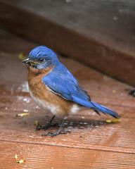 Eastern Bluebird (male) (wplynn) Tags: wild male bird birds indianapolis indiana bluebird eastern avian castleton sialis sialia