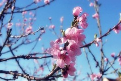 Sweet blossoms (mamietherese1) Tags: ngc doublefantasy floralessence earthmarvels50earthfaves phvalue saariysqualitypictures ausdernaturoutofnature