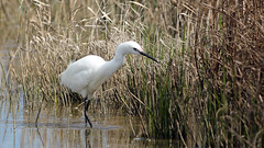 Little Egret at Cley Marshes, Norfolk. (NickWakeling) Tags: nature birds reeds wildlife norfolk stalking waders reedbed cley littleegret cleynextthesea northnorfolk canonef400mmf56lusm canon60d norfolkwildlifetrust cleymarshes