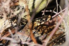 Female Adder (JRochester) Tags: female snake hatfield british adder vipera berus
