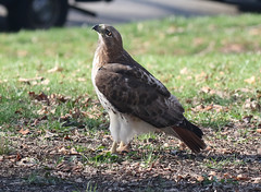 Grant's Tomb Red-tailed Hawk (Redtail10025) Tags: nyc red monument birds wildlife tail tomb parks national redtailed heights morningside grants raptors birdsofprey redtail hawks morningsideheights