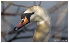 DS0D4087-Female-Mute-Swan (duncancooke.happydayz) Tags: life uk bird nature water birds swan pond native wildlife british mute birtish distinguishedbirds birdperfect naturesgreenpeace