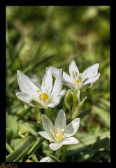 Daisies (ahmtmms) Tags: white flower macro canon turkey trkiye daisy bursa turkei 550d t2i