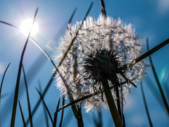 Dandelion (astielau) Tags: flare loewenzahn