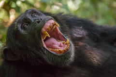 Anyone know a good hygienist? (Hector16) Tags: africa hot rainforest chimp wildlife ngc safari wildanimal uganda dryseason pantroglodytes kibale ndali victorianile ndalilodge republicofuganda