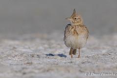 La crestita (Dani (Atrus)) Tags: espaa naturaleza birds fauna spain aves crestedlark galeridacristata cogujadacomn jdanielfernndez elrincndelosprotegidos