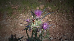 Cirsium ligulare Boiss. (telonia1) Tags: cirsium boiss ligulare