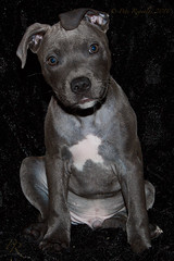 Buloo (Pete 5D......) Tags: dog dawg animal puppy teeth pitbull terrier pup lots bambino
