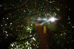 Baby Jackfruit Playing Hide n Seek with Sunshine (little.clicks47) Tags: summer baby sun nature sunshine jackfruit