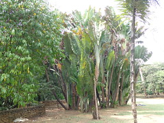 Ravenala madagascariensis, traveller's tree (sftrajan) Tags: colombia palmtree jardimbotnico botanicgarden botanicalgarden medellin jardnbotnico tropicalplants  ortobotanico travellerspalm strelitziaceae zingiberales  palmgarden ravenalamadagascariensis botanischetuin travellerstree botanisktrdgrd arbreduvoyageur palmadelviajero rvoredoviajante jardnbotnicodemedelln jardnbotnicojoaqunantoniouribe medellinbotanicgarden rboldelviajero botanicalgardenofmedelln medellnbotanicgarden