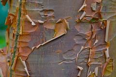 Acer griseum (vietnamvera) Tags: tree spring bark acer acergriseum ntdyffryngardens