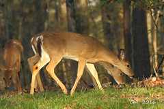 Whitetail Does 2  4-18-16 (Cal-Photo) Tags: nature tennessee wildlife deer whitetail middletennessee fallcreekfallsstatepark