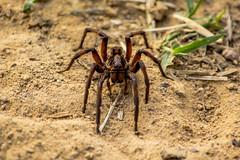 Wild Spider (sostenesmonteiro) Tags: wild nature spider nikon spiders natureza aranha d5200 sostenesmonteiro totecmt