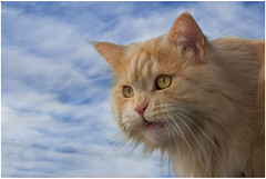 When I fly ..... (FocusPocus Photography) Tags: pet animal cat chat linus gato katze haustier kater tier