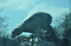 160410241 - Bianca Dekkers (pixelarized) Tags: fun spring jump polarbear ijsbeer ouwehandsdierenpark