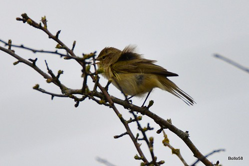 Chiffchaff - RSPB Isley Marsh 12-04-2016 13-54-50