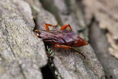 Wasp in Log (Tyrannodactyl) Tags: macro bug insect wasp sting stinger