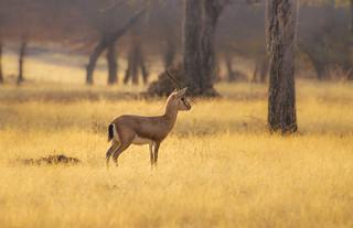 Chinkara, Ranthambore Tiger Reserve, India
