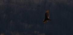 Turkey Vulture (kearneyjoe) Tags: