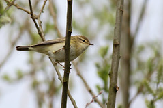 A87A3561 Willow warbler (steve.ray50) Tags: sandwich 2016