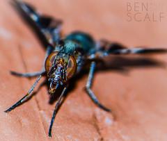 Delphinia picta - 105mm macro (ben.scalf) Tags: ohio nature bug fly nikon cincinnati wildlife science micro dslr biology 105mm d3200