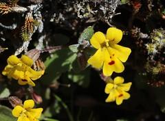 Wingstem Monkeyflower (corey.raimond) Tags: plant flower monkey bald yellowflower prairie orcasisland mimulus monkeyflower wildflower phrymaceae mimulusalsinoides erythranthe erythranthealsinoides
