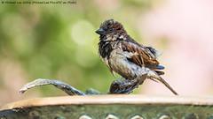 Bath Time (P4171351) (Michael.Lee.Pics.NYC) Tags: newyork bird birdbath bokeh centralpark olympus sparrow mkii markii conservatorygarden em5 burnettfountain 40150mmpro28