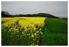 20160430-162634 (lichtschattenjaeger) Tags: yellow landscape gold diesel bio eifel gelb raps biodiesel vulkan getreide gerste weizen benzin hafer biosprit