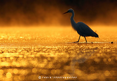Colors of nature (T@hir'S Photography) Tags: sunset shadow sea lake reflection bird beach nature water animal silhouette fog standing landscape outdoors dawn sand texas dusk wildlife tide small wave pollution environment evergladesnationalpark blueheron awe egret recovery scenics elegance defocused gulfcoast cattleegret animalsinthewild orangecolor wildlifereserve beautyinnature floridausa tropicalclimate animalsandpets sunrisedawn heattemperature