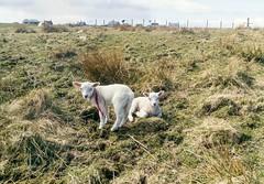 Twin lambs relaxing (Domhnall Iain) Tags: spring twins sheep lambs meh