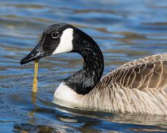 Canada Goose (J.B. Churchill) Tags: birds us unitedstates maryland places waterfowl cang allegany flintstone taxonomy rockygapsp