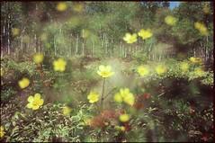 (bensn) Tags: flowers trees film grass yellow japan woods pentax slide velvia 100 birch f18 limited fa lx multiexposure 31mm