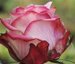 Goodbye, Prince! (sabrina. G) Tags: rose makro flowerwatcher