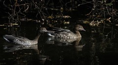 Australasian Wood Duck (Rare) (Young Birder NZ) Tags: wood male female duck waterfowl rare australasian