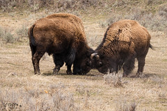 young male bison sparring (chasingthewildoutdoors) Tags: wild nature animal animals canon fun mammal outdoors spring buffalo wildlife sigma bison yellowstonepark yellowstonewildlife