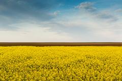 Repce (gazdag_richard) Tags: sunset nature hungary naplemente termszet magyarorszg colza repce