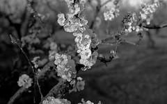 Apricot blossoms (bingley0522) Tags: sunnyvale diafine apricot tmax400 olsons voigtlanderheliar75mmf25 epsonv500scanner canonivsb2 apricotorchard beforeapple